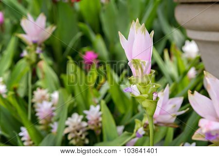 Pink Curcuma Alismatifolia Or Siam Tulip