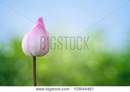 Pink Lotus On Spring Background