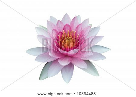 Red Lotus Isolated On while