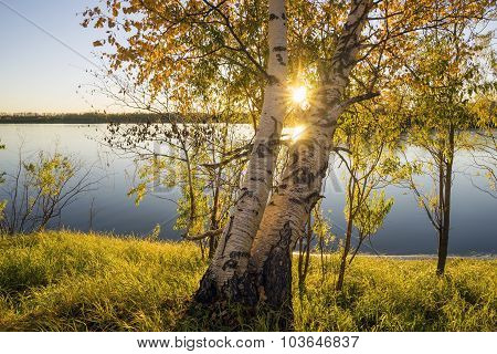 Autumn, Two Birch Trees At Sunset.