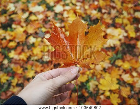 maple leaf in hand, blurred background of leaves