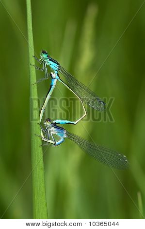 Ischnura elegans - blue-tailed damselfly