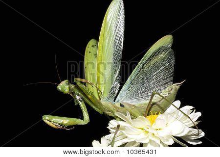 Praying mantis isolated on black / Matis religiosa
