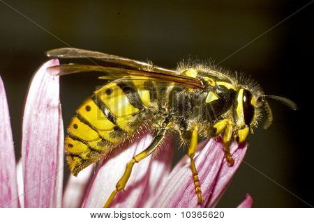 European wasp / Vespula germanica