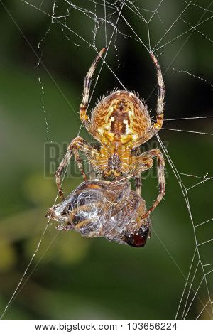 Spider With Its Captured Hover Fly.