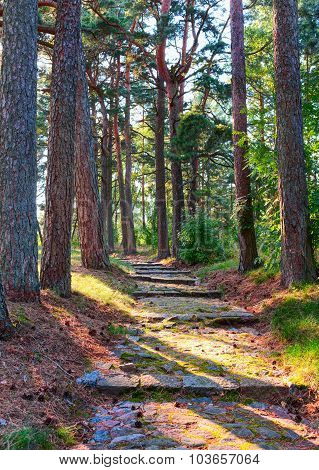 Old path in the pine forest.