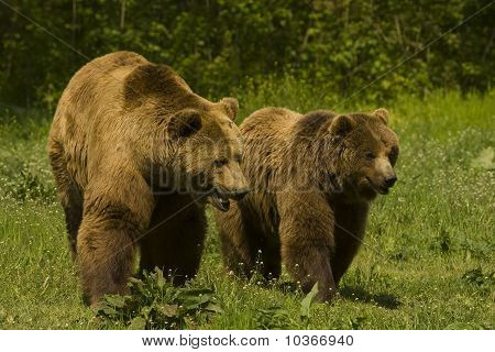 brown bear / Ursus arctos