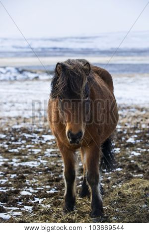 Portrait Of A Brown Icelandic Horse