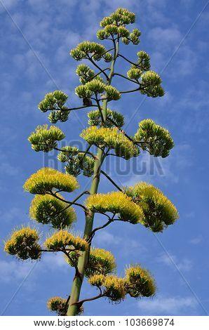 Blooming Agave, Santo Stefano Al Mare, Liguria