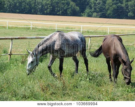 Unique Starokladruby Horses , Eastern Bohemia