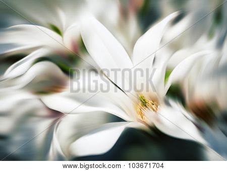 Abstract Blurred Image Of Magnolia Flowers