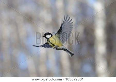 Flying Great Tit Against Autumn Birch Trees Background