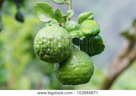 Bergamot Lime Limau Purut.selective Focus Image.