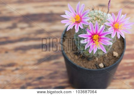 Closed Up Pink Flower Of Cactus In Pot On Old Wood Table