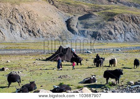 Tibetan farmers with their cattle in a steppe in Tibet, China.