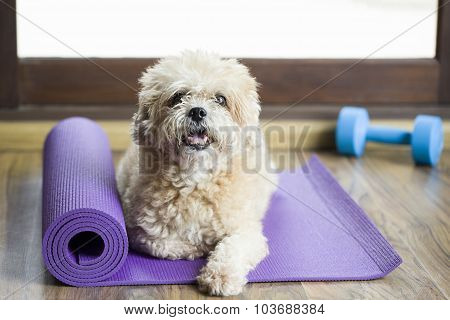 Dog Sitting On A Yoga Mat, Concentrating For Excercise And Listening To A Trainer