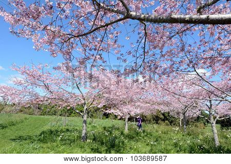 Photo of  herry trees orchard blossom in spring
