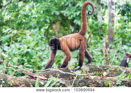 Woolly Monkey Walking