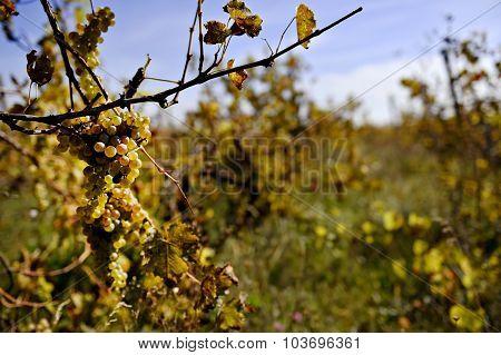 Autumn Vine Harvest