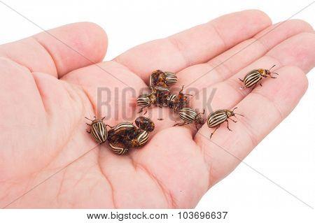 Colorado beetles on palms
