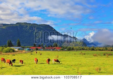 Orange and black cows graze on green pasture. Rural idyll in Chilean Patagonia