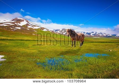 Chestnut Icelandic horse grazing in the meadow. Summer Iceland. Small lake surrounded by green fields
