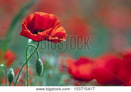Beautiful Wild Poppy