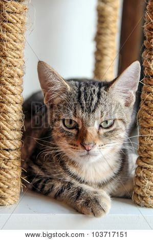 American Shorthair  cat sitting on cat scratching post.