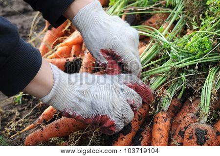 Farmer Sorting Carrot Harvest