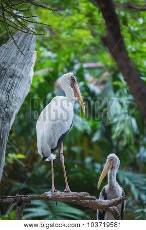 Painted Stork Bird Or Mycteria Leucocephala On Nature Background