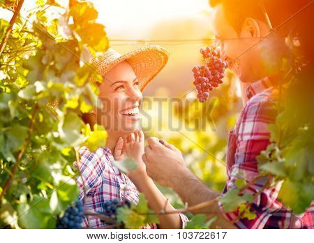 Smiling love couple in vineyard eating grapes while harvest time