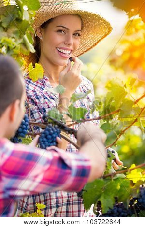 Young smiling couple picking grapes in a vineyard