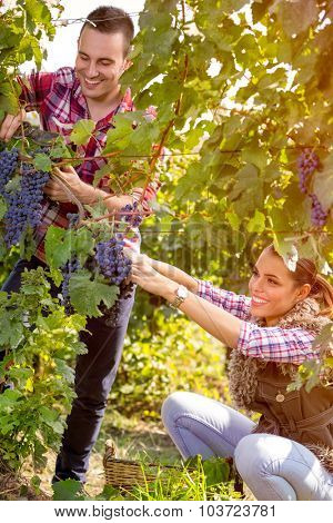 couple worker picking grapes in vineyard at harvest time