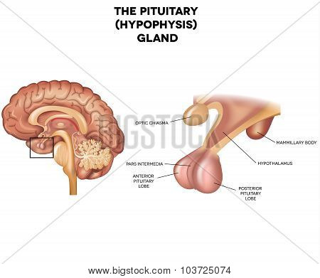 Pituitary Gland, Hypophysis