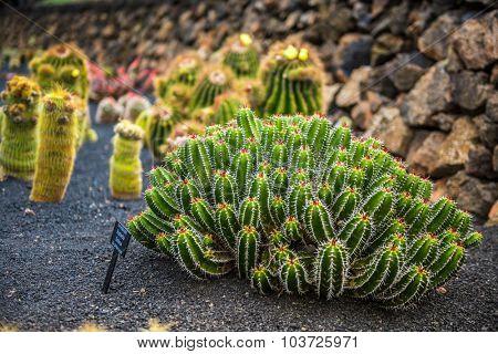 cactus garden, garden de cactus in Guatiza, Lanzarote, Canary Islands, Spain