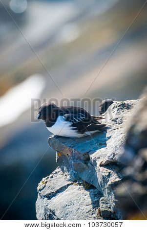 Guillemot Aka. Thick-billed Murre (uria Lomvia) On The Rocks