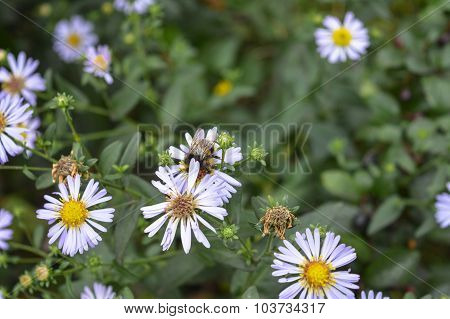 Bumble-bee Among Daisy Flowers
