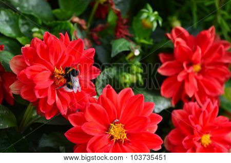Bumble-bee Sitting On A Chrysanthemum Flower