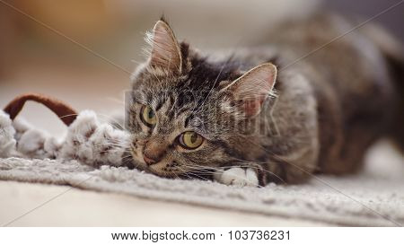 Portrait Of The Playing Domestic Cat With Yellow Eyes
