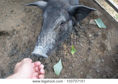 Hand and Black Pig  in sty at farm
