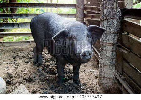 Big Black Pig in sty at farm