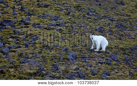 Exhausted and hungry polar bear in summer Arctic - Franz Josef Land