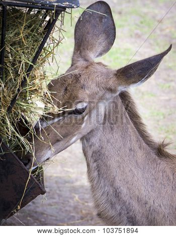 Close Up Of A Brown Antelope Feeding