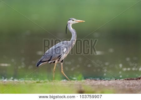 Grey Heron in the nature on the bank of the lake