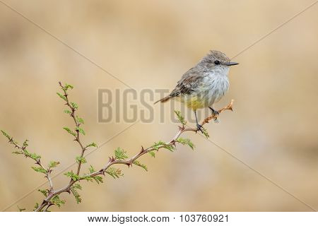Vermilion Flycatcher Female