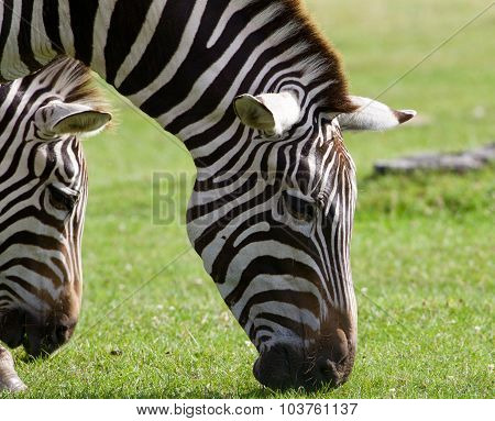 Close-up Of The Zebras Eating The Grass