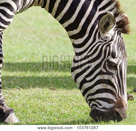 The Close-up Of The Eating Zebra