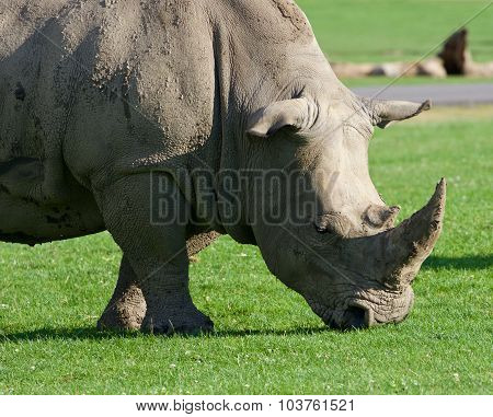 The White Rhinoceros Is Going