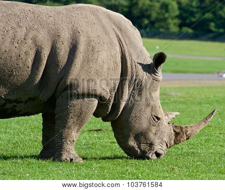 Beautiful Close-up Of The Rhinoceros