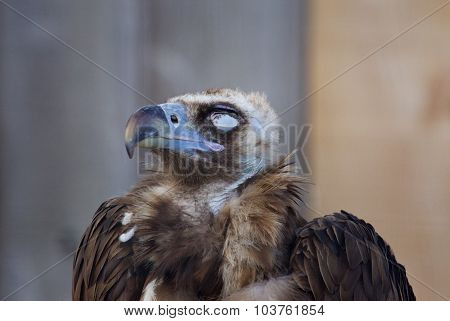 The Close-up Of A Calm Cinereous Vulture